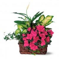 Аранжировка с азалея и свежи растения