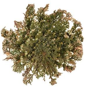 Йерихонска роза (динозавърско растение)